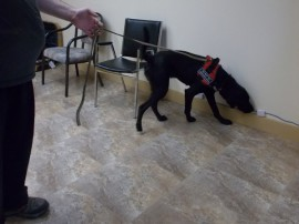 labrador retriever being trained to search base boards for bed bugs