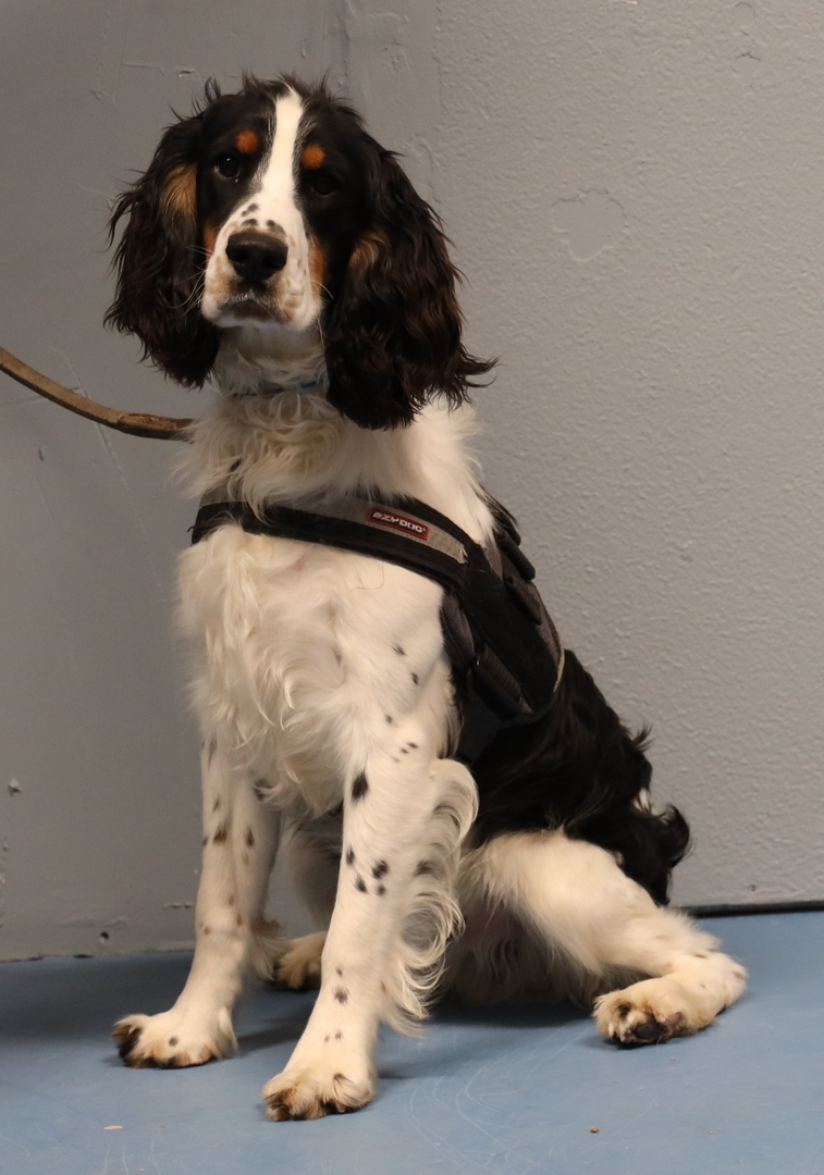 Bed Bug Detector Dogs for Sale